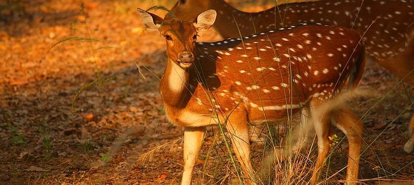 Wildlife at Bandhavgarh National Park