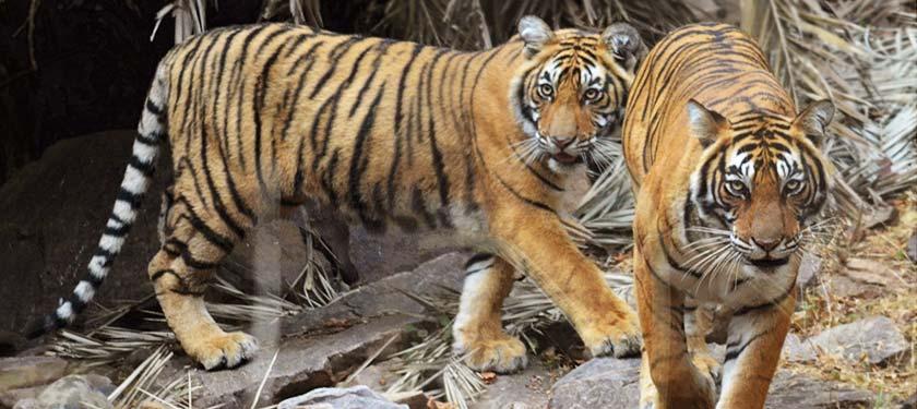 Tigers at Ranthambore National Park