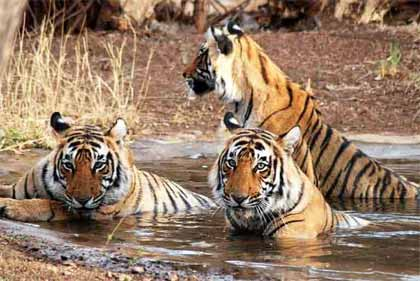 Indian Wildlife Tour Package